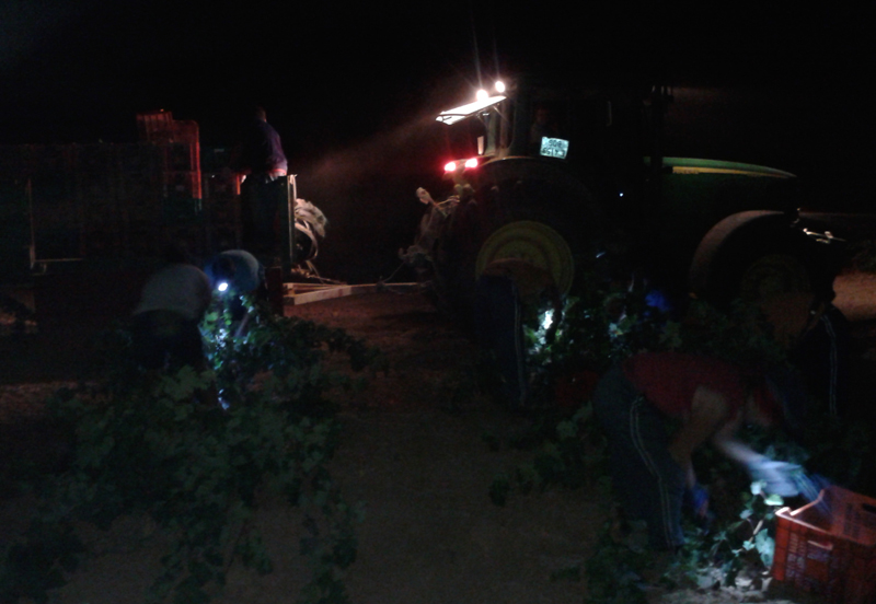 The night harvest at Torre de Barreda in Spain started at 4:30 a.m.