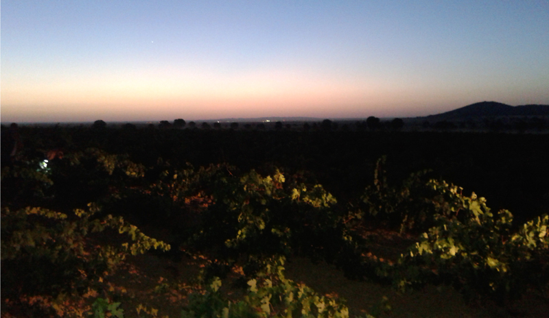 The sun rises on the harvest in Spain at the Torre de Barreda winery.