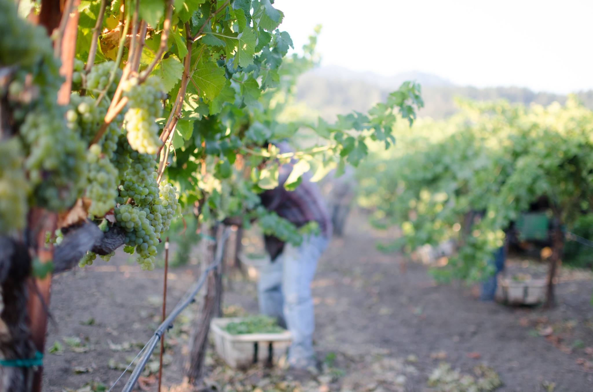 The first pick of the season: Sauvignon Blanc at Frediani Vineyard from Three Clicks.